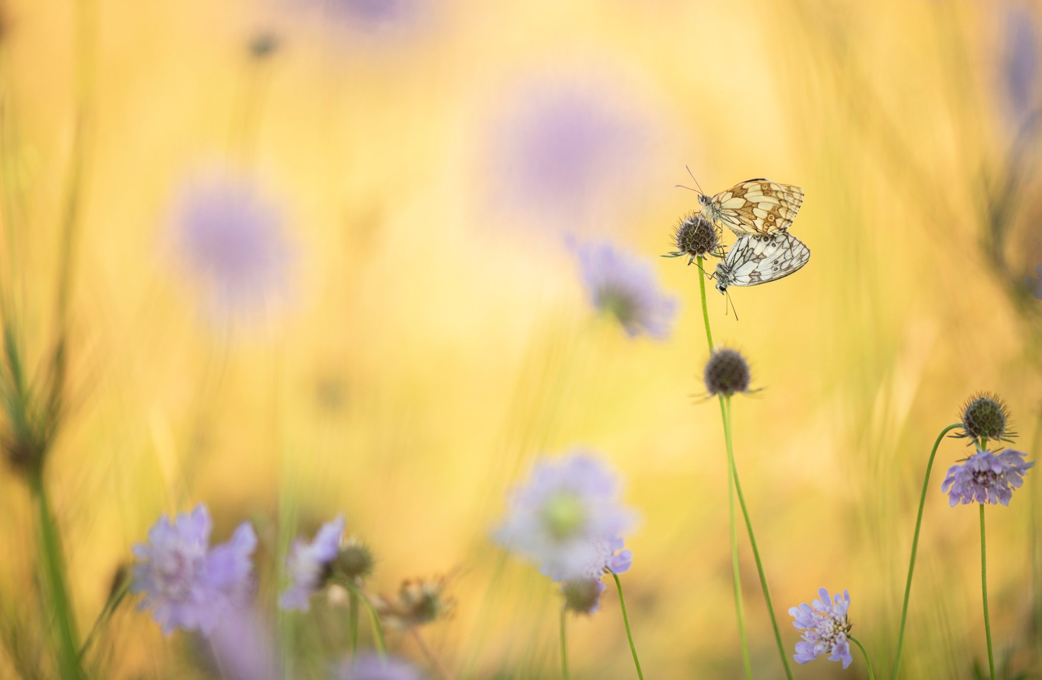 A pair of Marbled White butterflies in a lovely meadow filled with Devil's-bit scabious flowers @savebutterflies @WildlifeMag @BBCEarth @BBCSpringwatch https://t.co/0XuB3qN1Ga