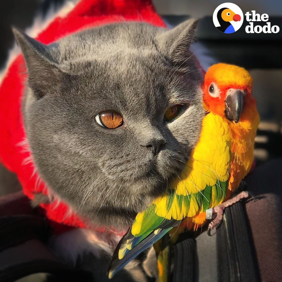 This parrot jumps on her favorite cat's back whenever she wants to go for a walk with him 💚 https://t.co/54Kpz3aCsw
