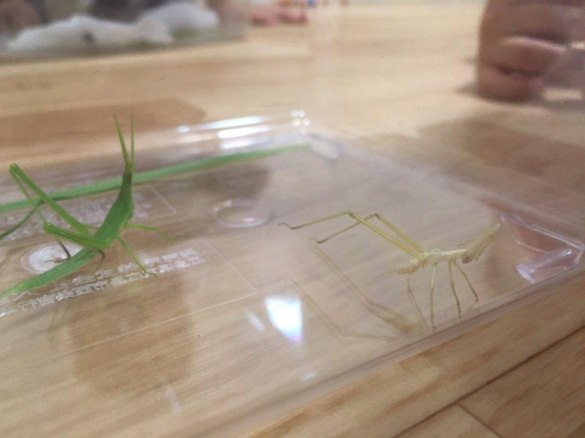 test ツイッターメディア - 捕まえたショウリョウバッタを逃がしてあげようと思ったら脱皮してました。抜け殻の残し方が余りにも見事で。正に、人間よ昆虫から学べ!!昆虫すごいぜ!!カマキリ先生にも是非見て頂きたい。#カマキリ先生 #昆虫すごいぜ https://t.co/7ZL7MfIvJ2
