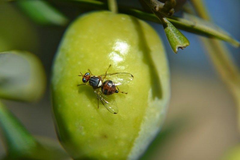 test Twitter Media - Continuamos nuestra lucha contra la mosca del olivo🦟 de forma colectiva, integrada y protocolizada, que es endémica en nuestra #SierraMágina para conseguir unos mejores #aoves en la próxima campaña. Más info en https://t.co/KiAwfz4pea https://t.co/pBY9wIRCAt