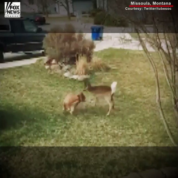 Dog and Deer Have Unexpected Morning Playdate https://t.co/R09uhvP1M9