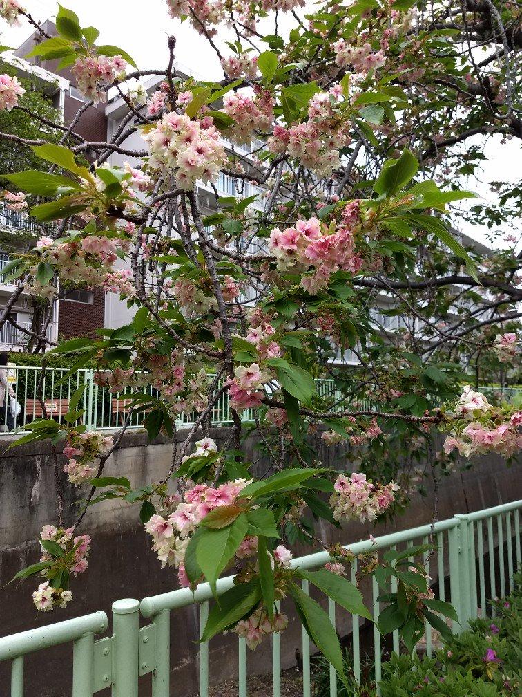 今朝のウコン 久我山の黄色い桜ウコン。 開花直後は新緑の黄緑っぽい色なのですが、徐々に花弁が赤く色付き始め、散る間際にはこういう色合いに。 https://t.co/C9CWLgoaPn