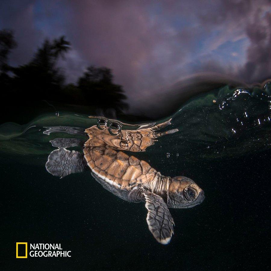 #NG오늘의포토 이제 막 알에서 나온 아기 대모거북이 수면 아래로 내려갑니다. 대모거북은 유난히 아름다운 등껍질 무늬 때문에 멸종 위기에 처해 있는 바다거북입니다.  이 아기 거북은 무사히 살아남을 수 있을까요? https://t.co/xKx9LCKPZN