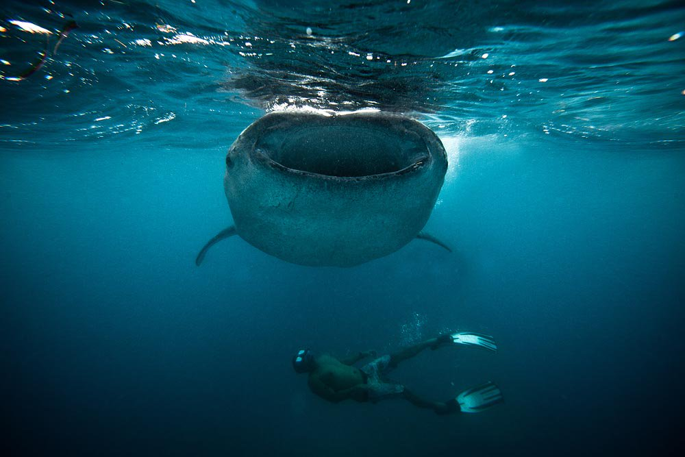 RT @WhaleSharkRocky: It's #WhaleSharkWednesday! Have a SHARKtastic day! That's a word right? 😆🐋🦈 https://t.co/EO3RsKoLWi