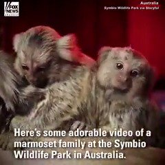 This adorable family of marmosets at the Symbio Wildlife Park in Australia loves to play. https://t.co/0LH7DvJyHk