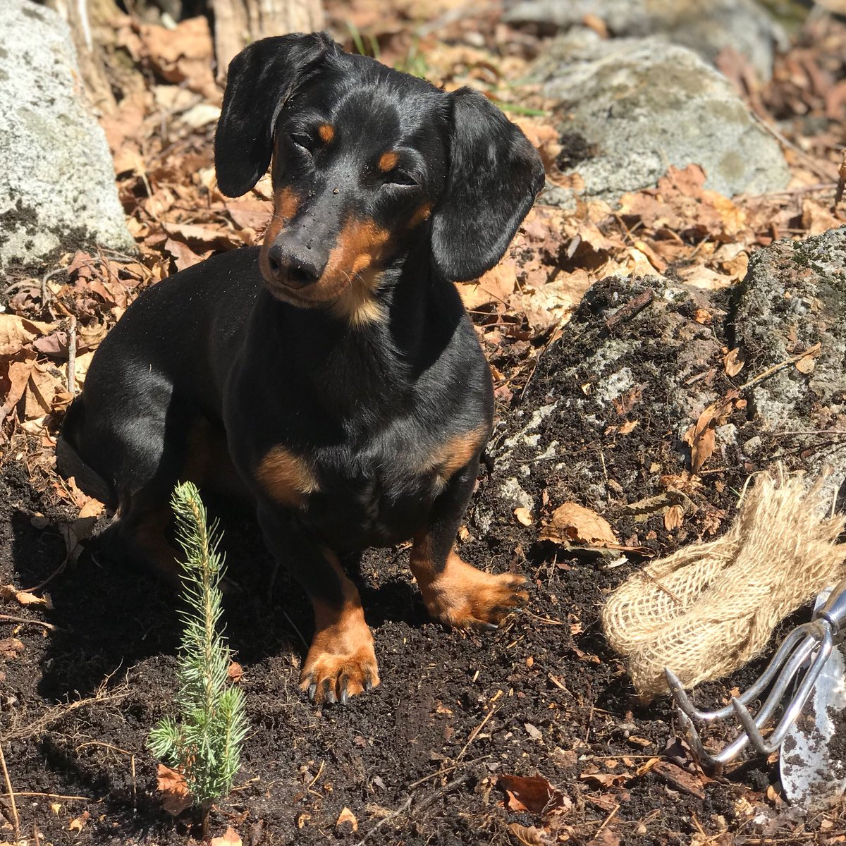 RT @Celeb_Dachshund: I planted a tree today for #EarthDay. And I didn't even dig it up again afterwards. https://t.co/WvAvcCvmUZ