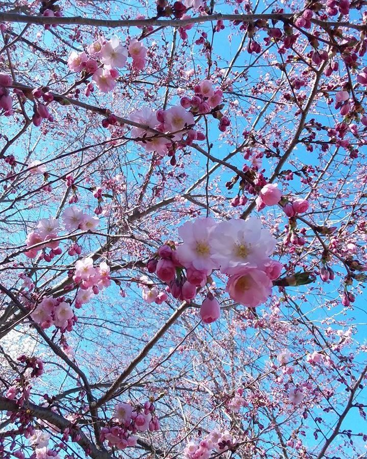 test Twitter Media - Cherry blossoms are in bloom near the College of East Asian Studies! 🌸 https://t.co/6u26mN9N8C