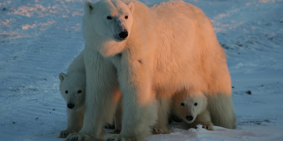 Sea ice loss from climate change is the primary threat to polar bears. #savethepolarbears #polarbears #ClimateChangeIsReal