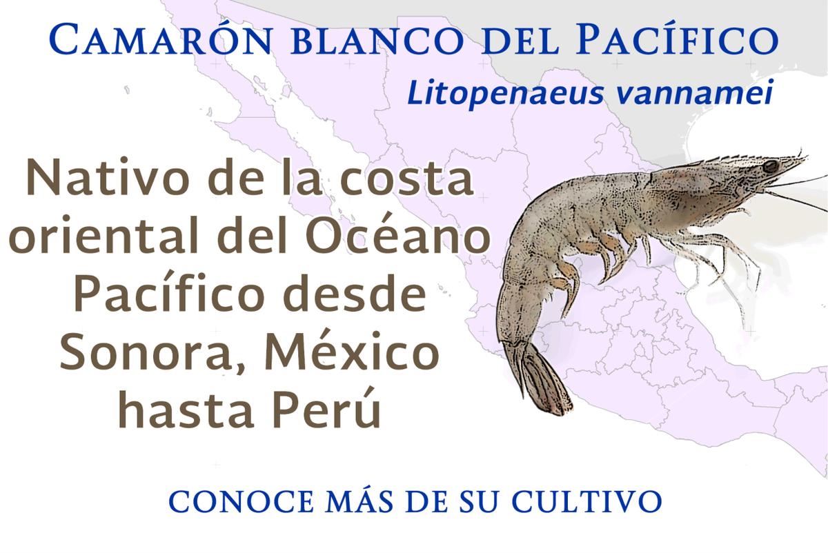 Camarón Blanco del Pacífico @INAPESCAmx https://t.co/d5LCHl4gdW👉 https://t.co/a2iyLVaZgm