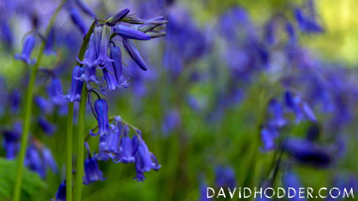 test Twitter Media - A wonderful display of #Bluebells near #Ermington, #Devon. The smell from these sweetly-scented flowers lingering in the woods as the sun streams through the foliage.  #Plymouth #BankHoliday #Sun @DevonLife @VisitDevon https://t.co/iJvpmK0Xq9