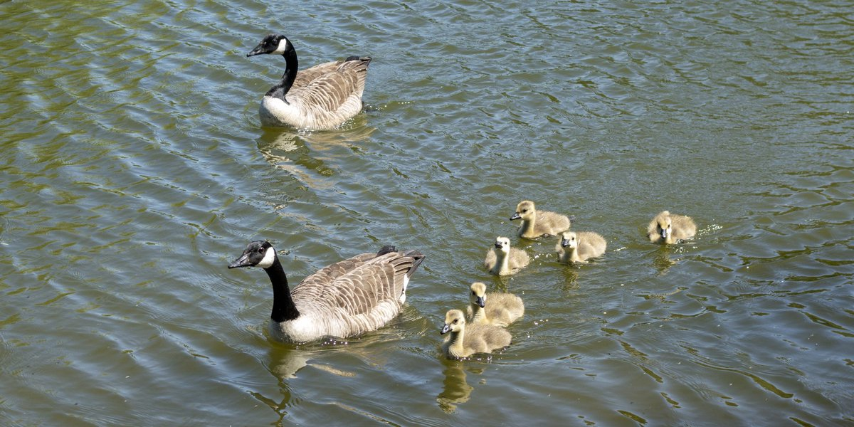 test Twitter Media - A nice day for a swim...  Adult Canadian Geese lead their Goslings on a swimming expedition.  #Devon #Geese #Goose #Summer #Baby #Wildlife #Birds #Ivybridge https://t.co/rILPUiB7xL