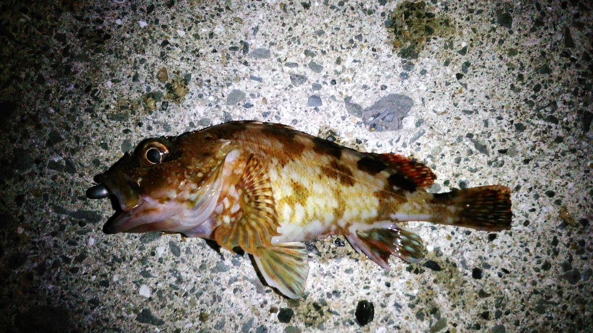今日の釣果は…チビカサゴが1匹でした。 またメバルに出会えませんでした。 #メバリング #カサゴ https://t.co/yB1gysvVSi