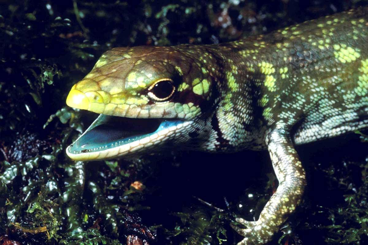 Lizards keep evolving toxic green blood and we don't know why https://t.co/52h0q1pouL https://t.co/0yPt93a52b