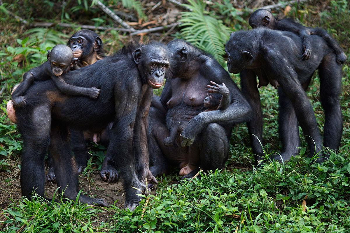 Ape 'midwives' spotted helping female bonobos give birth https://t.co/qxdLIIRN1m https://t.co/G6d46HpaY6