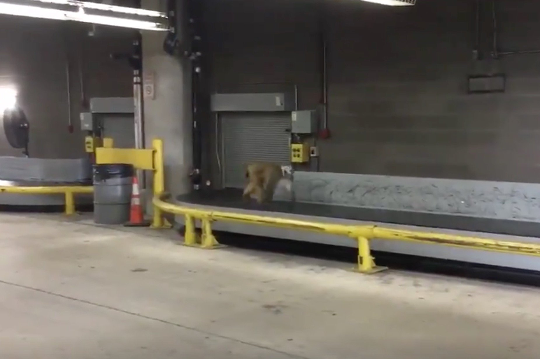 A Baboon Broke Free and Ran Loose Around San Antonio Airport Today https://t.co/9SigfqxgLW https://t.co/ZF7h9k66MV
