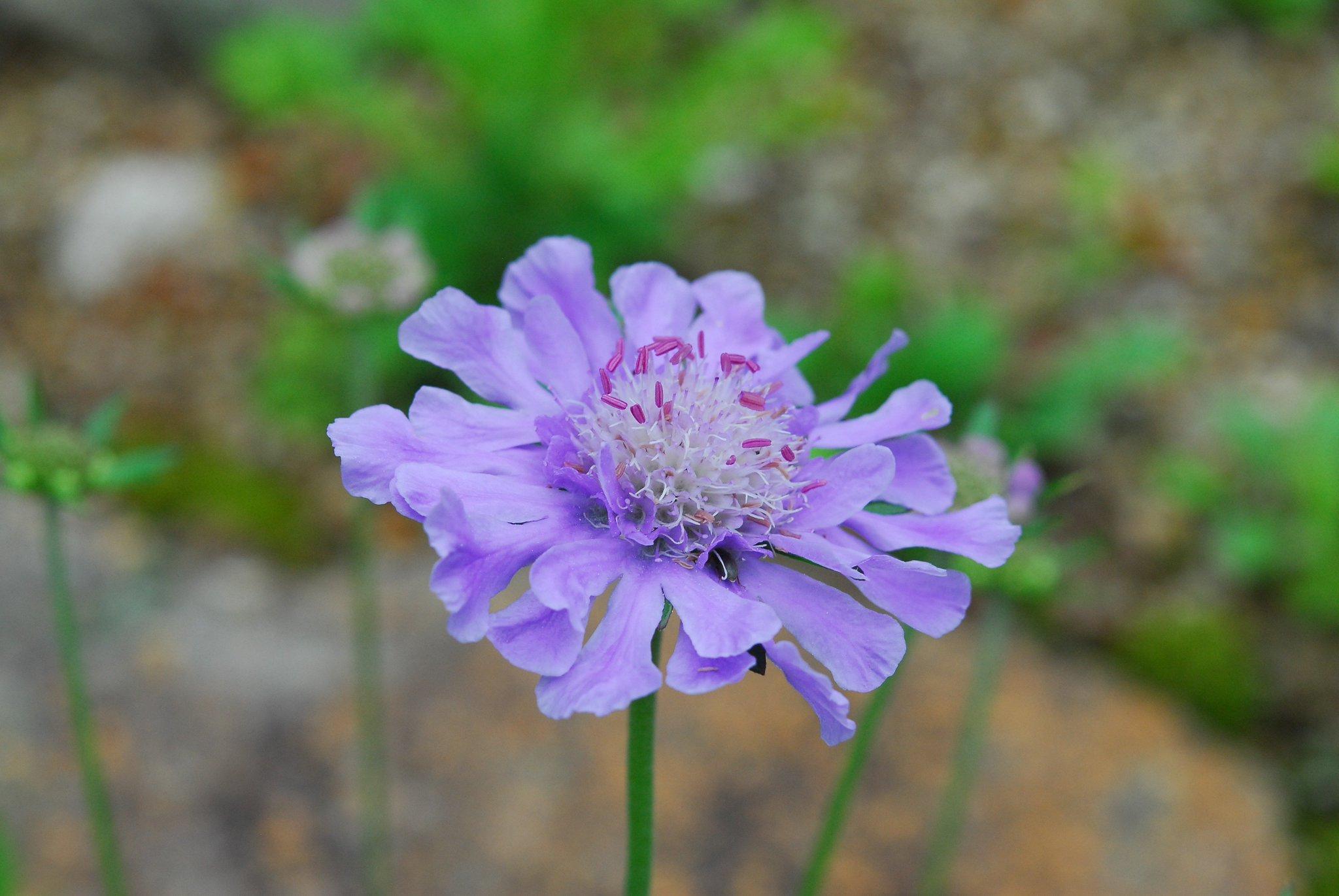 #タカネマツムシソウ の花が咲いています。  高山帯の草地や礫地に生える越年草。 日本固有の植物。 通常のマツムシソウの高山型の種類です。  穏やかな印象の花色。 花の上、虫さんがのんびり休憩中。 https://t.co/Kp8LCPKSho