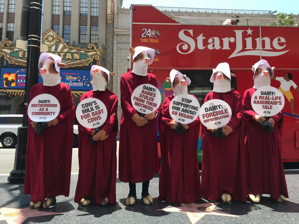 test Twitter Media - PETA made a stand for mother cows at the #Hollywood #WalkOfFame showing people that the dairy industry is a REAL LIFE #HandmaidsTale! https://t.co/rGC7dlRtt2