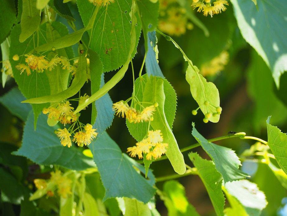 ハーブミュージアムや四季の庭にあるリンデンの木の花が最盛期を迎えています!ぜひ、リンデンの下に行ってみてください(*^^)豊かな香りが広がっています♪ https://t.co/WI1BLBEO2J