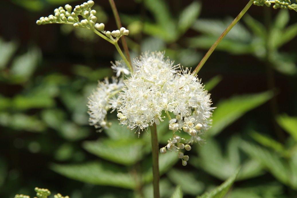 ✿ハーブガイド本日の一押し!メドースイート。花に甘い芳香があります。小さい白い花が密集した姿が雪のように見えることから和名は、セイヨウナツユキソウといいます。現在、ハーブミュージアムでご覧いただくことができます。 https://t.co/jnQwqf4R8M