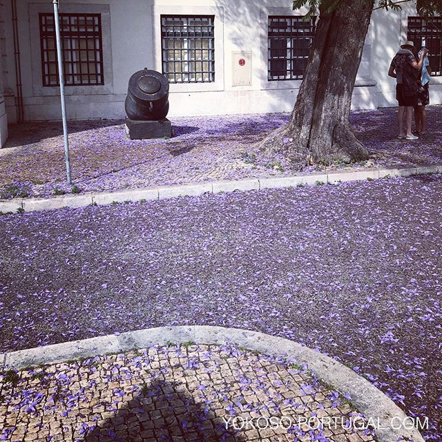 test ツイッターメディア - 散ってもきれいなジャカランダの花。 #リスボン #ポルトガル #ジャカランダ https://t.co/2gRVK6EQYR