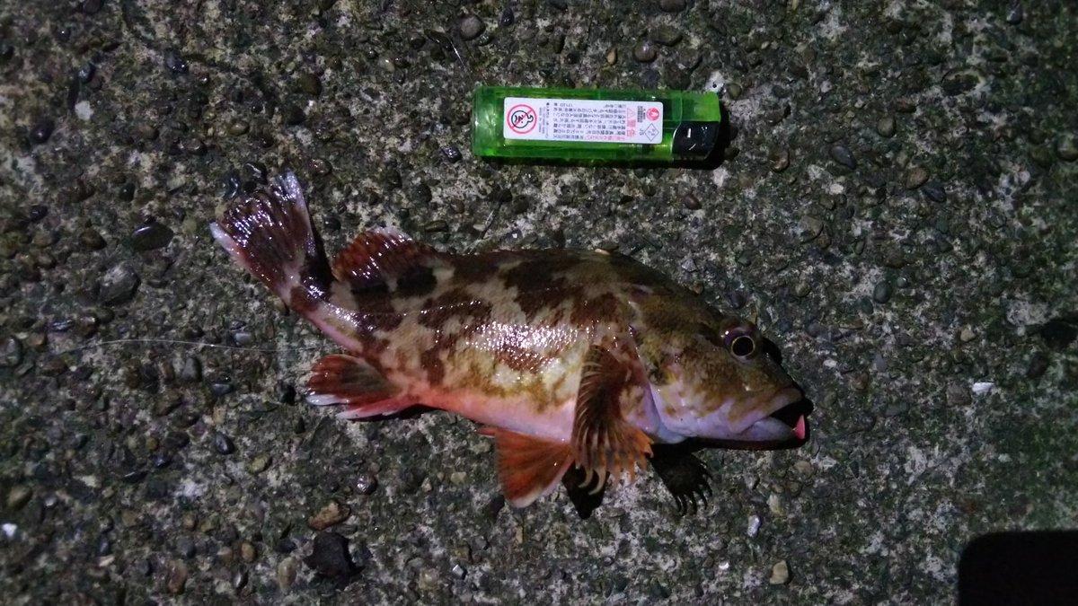 本日の釣果 27,28cmのガシラが2匹釣れました!! https://t.co/m9KLN9hytA
