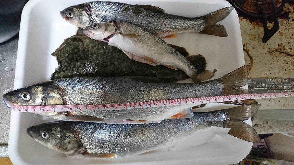 釣果 次回の釣り餌にするためにやたら釣れたウグイをキープ https://t.co/ZUsIpTxoyr