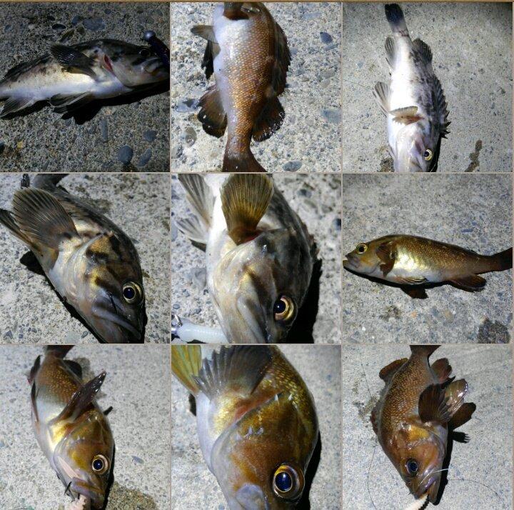 今宵はなまら渋かった・・・  クロソイ4匹とエソメバル5匹の釣果。  昨年なら数釣りを楽しめる時期に入るのだか、今年は何かが違う気がする・・・  では、明朝の海鱒大戦に備えて仮眠します。 https://t.co/vvJU2WyYg1