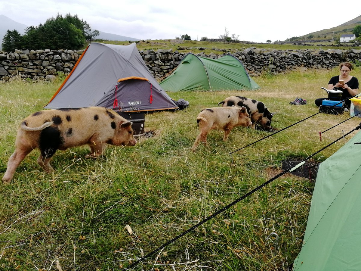 test Twitter Media - Gold #dofe campsite invaded by mini-pigs. I thank you. https://t.co/uVbliuJgNd