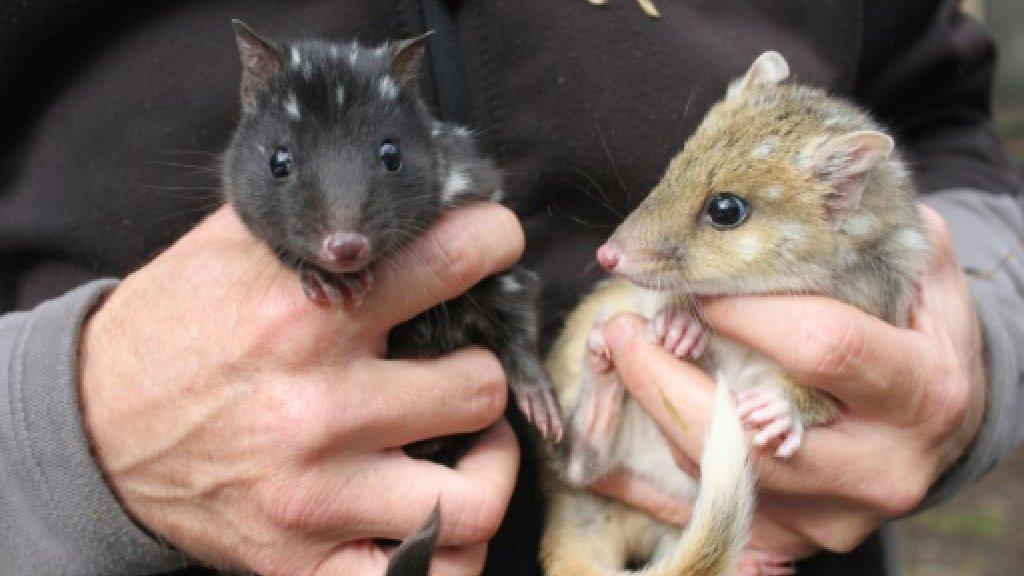 First quolls born in Australian wild in half a century