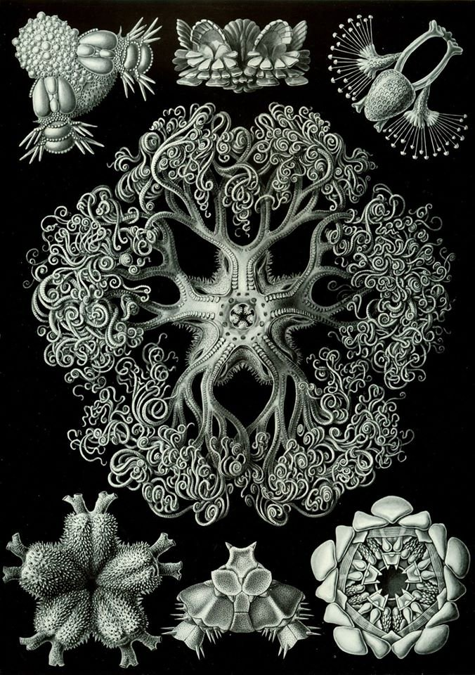 Ernst Haeckel (German, 1834 – 1919), Black and white illustrations from Art Forms in Nature (Kunstformen der natur), 1904 1 https://t.co/TaL8GEmCzg