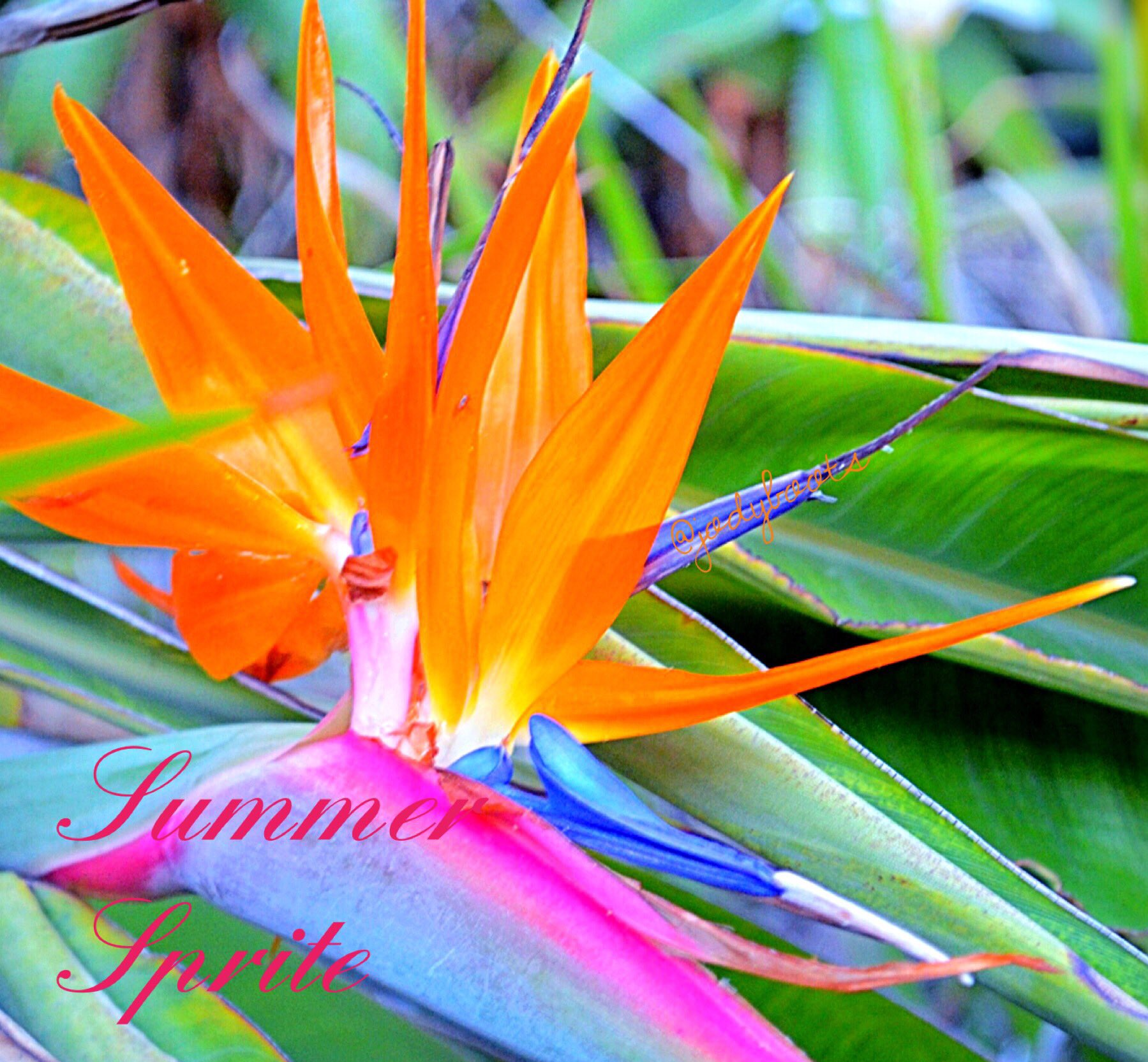 """""""But thy eternal summer shall not fade, Nor lose possession of that fair thou ow'st; Nor shall death brag thou wander'st in his shade, When in eternal lines to time thou grow'st..""""#ShakespeareSunday #SummerVibes #ThinkBIGSundayWithMarsha #birdofparadise #SummerSprite #flowerpower https://t.co/2424rDJZGq"""