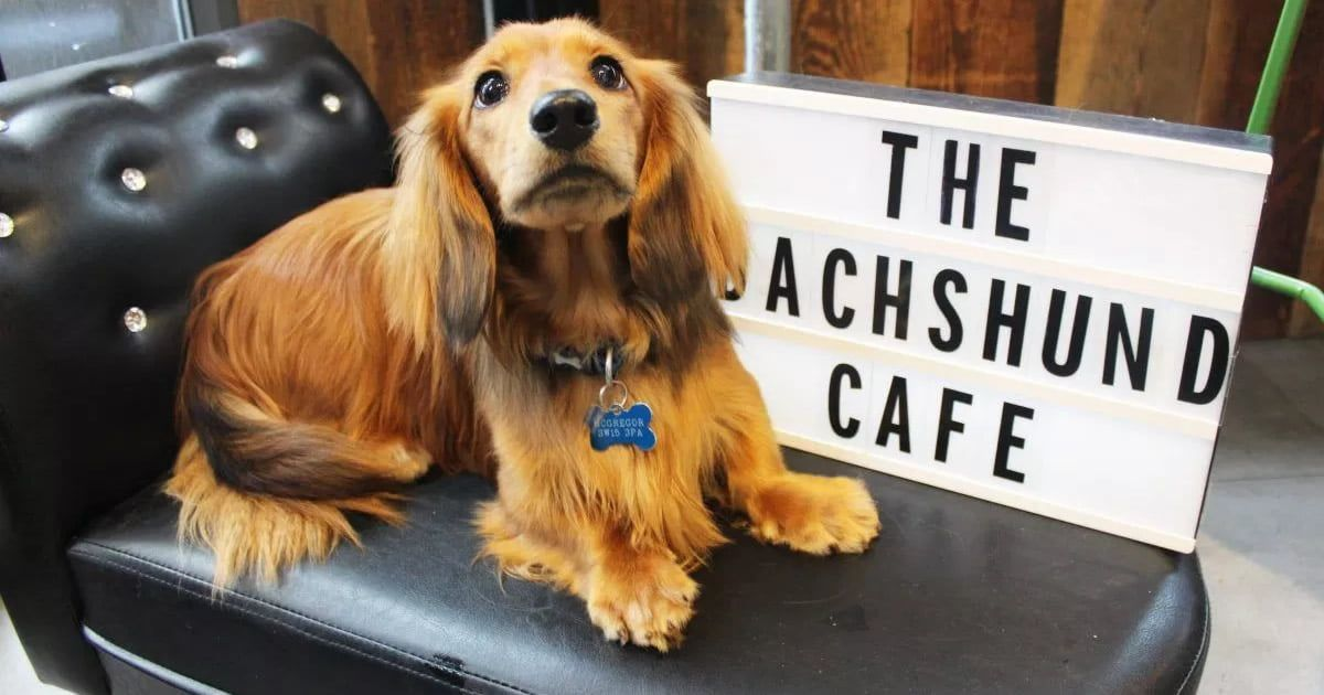 A Pop-up Dachshund Cafe Is Coming To London https://t.co/mH0ehY792a https://t.co/LHWJZwIU7R