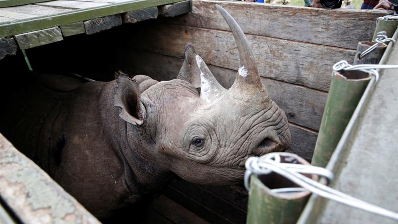 Probe launched as one more black rhino dies after Kenya transfer