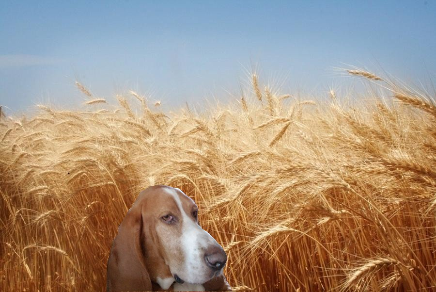 test Twitter Media - #dogsoftwitter  It's been a blast playing #farm #dog . Lots of ground to #explore . The tall #wheat  goes forever into the #horizon ! Just saying it's not #bassethound friendly ! #PeaceAndLove  #hoochthebasset 🌻🐾 https://t.co/vNShgtlbZb