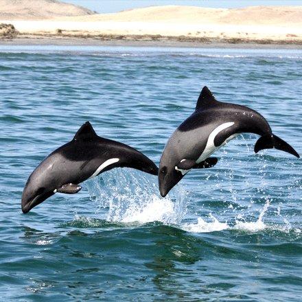 test Twitter Media - Heaviside's dolphins relax acoustic crypsis to increase communication range #ProcB  https://t.co/1ZDpunMeHO @frantsjensen @Simon_Elwen https://t.co/Lg1olwJoQD