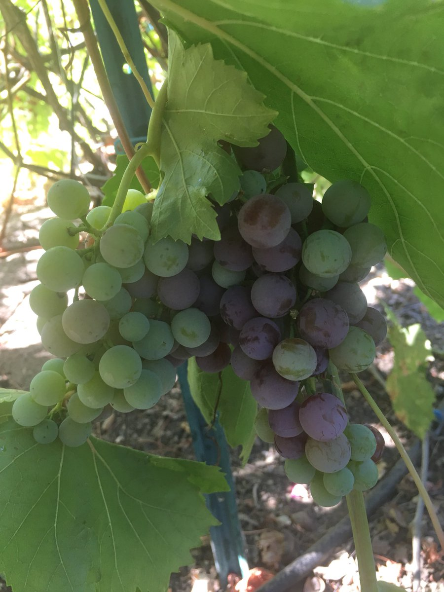 My grapes are flourishing. I'm so proud of my self. NO PESTICIDES!!! bGnFv2BvUH