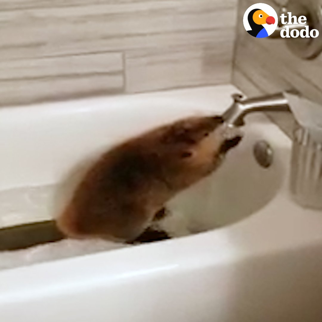 This woman lets a baby beaver build dams in the house and swim in ...