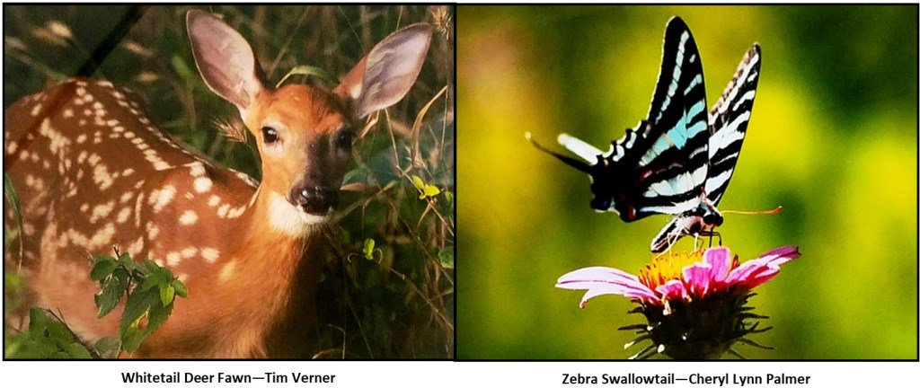"""test Twitter Media - Congratulations to Tim Verner & Cheryl Lynn Palmer! """"Whitetail Deer Fawn"""" & """"Zebra Swallowtail"""" tied as the July winner of the Friends of @parkvillemo Nature Sanctuary Monthly Photo Contest for Amateur Photographers. Stop by and check them out at Parkville City Hall! https://t.co/CDyeA4vOzO"""