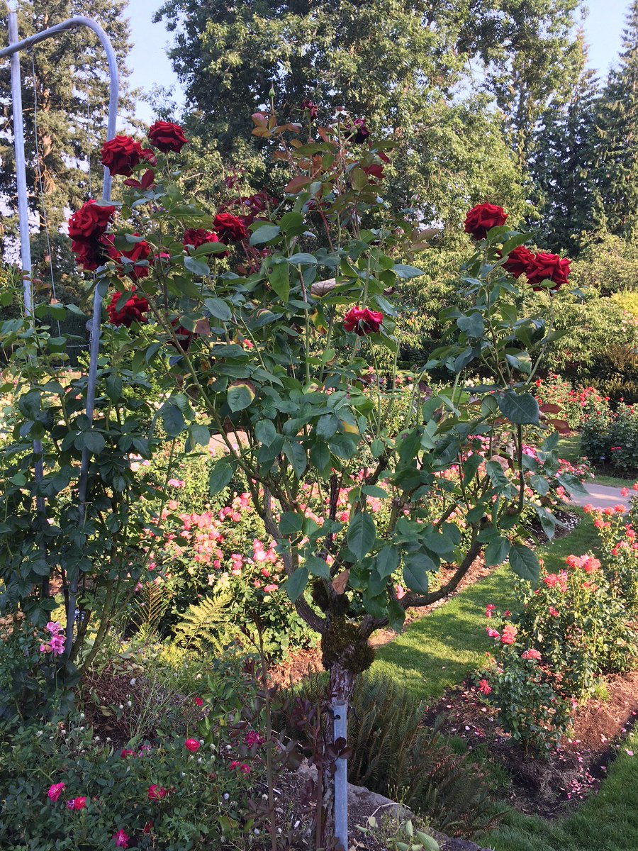 "test Twitter Media - Remember the song ""We're painting the roses red,"" from Alice in Wonderland? Well, these beautiful rose trees are already red. The Queen of Hearts would have loved them! Happy #FairyTaleFriday #fantasyfan #fantasynovel, #internationalrosetestgarden https://t.co/Qdc6DiPLiQ"