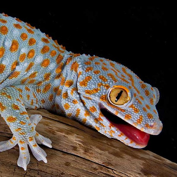 RT @DrWildlife: Tokay geckos may be the best contender for most adorable lizard paw.   #WorldLizardDay https://t.co/WyycenL1hU