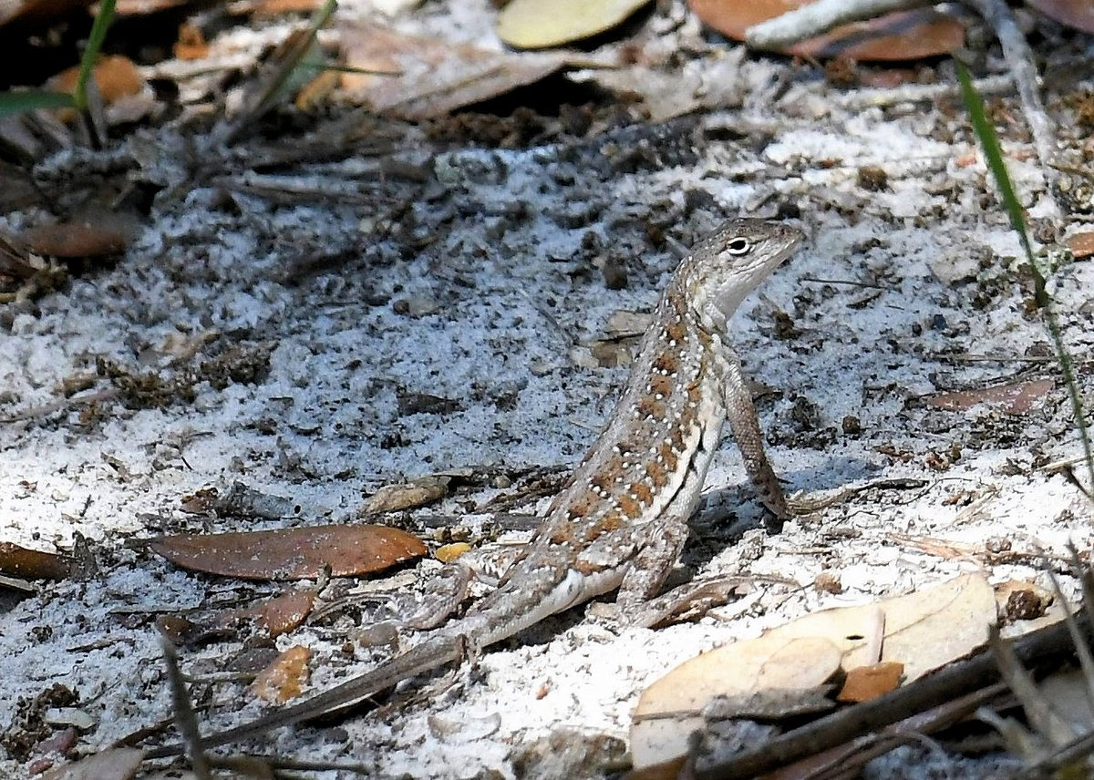 RT @LastNameIsTerry: Keeled earless lizard representing South Texas for #WorldLizardDay https://t.co/0ZbpaiMbRR