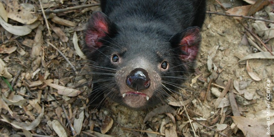 test Twitter Media - The discovery of a second facial tumour disease in the Tasmanian devil has provided insights into the emergence of contagious cancers https://t.co/qy7h1qdNk0 https://t.co/WUSfHWL8GA