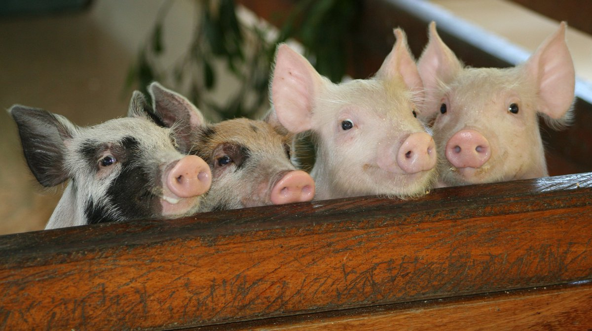 A disease incursion in a piggery can really huff,...