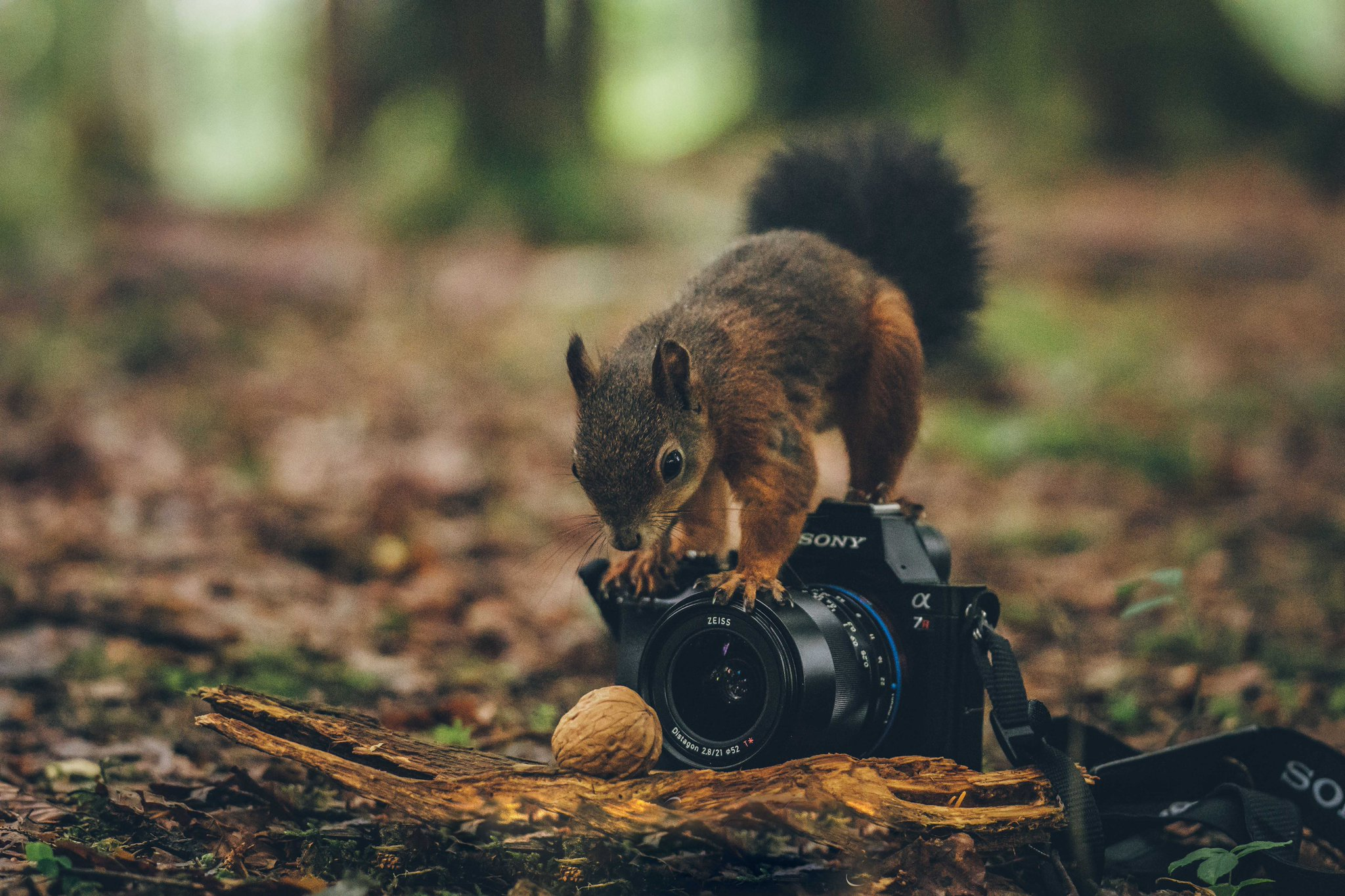 Walking through a Bavarian #forest, landscape #photographer Bruno Günther had the honor to meet another passionate photographer at work. 🐿️ Did you ever take a shot as cute as this one? Show it by using #ZEISSCameraLenses! https://t.co/qhBaroY1rh