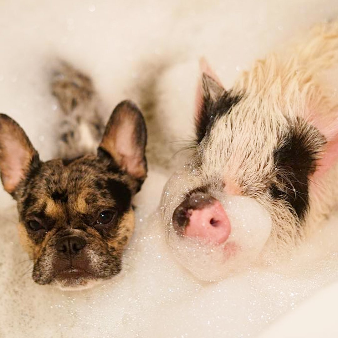 This French bulldog and his pig brother do everything together! 💞 https://t.co/YN7y7onujA