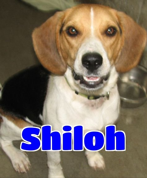 I'm #3133 shiloh. I am a male beagle. https://t.co/1aARyNRtgs https://t.co/Qdwiv5rXu7