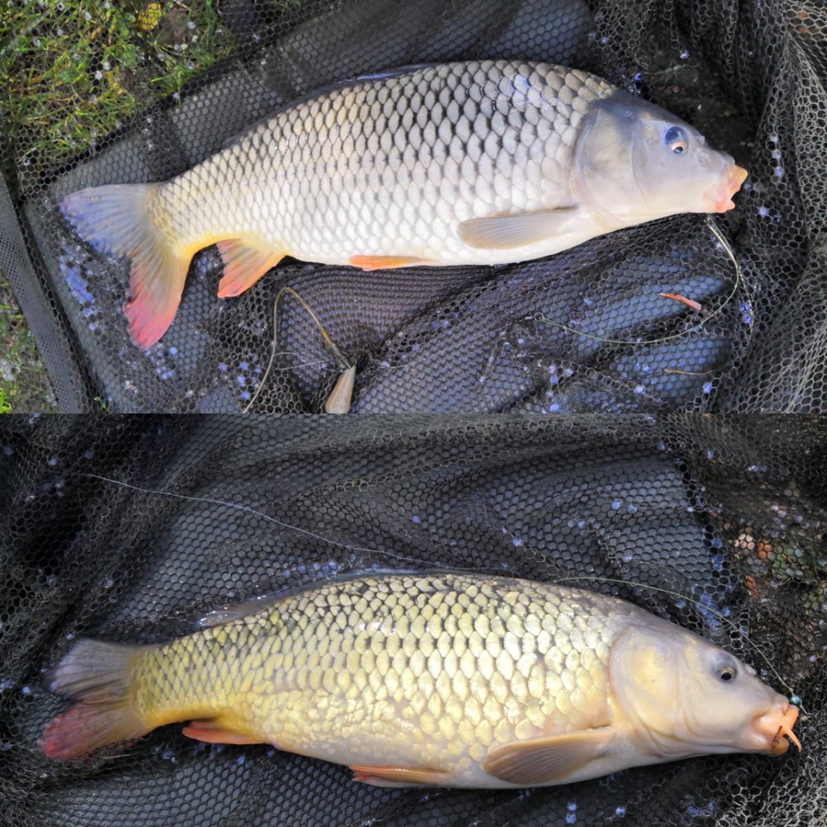 Good days fishing 1<b>6lb</b> being biggest carp. #carpfishing #carp 🎣🐟 https://t.co/p0UlcwXGF