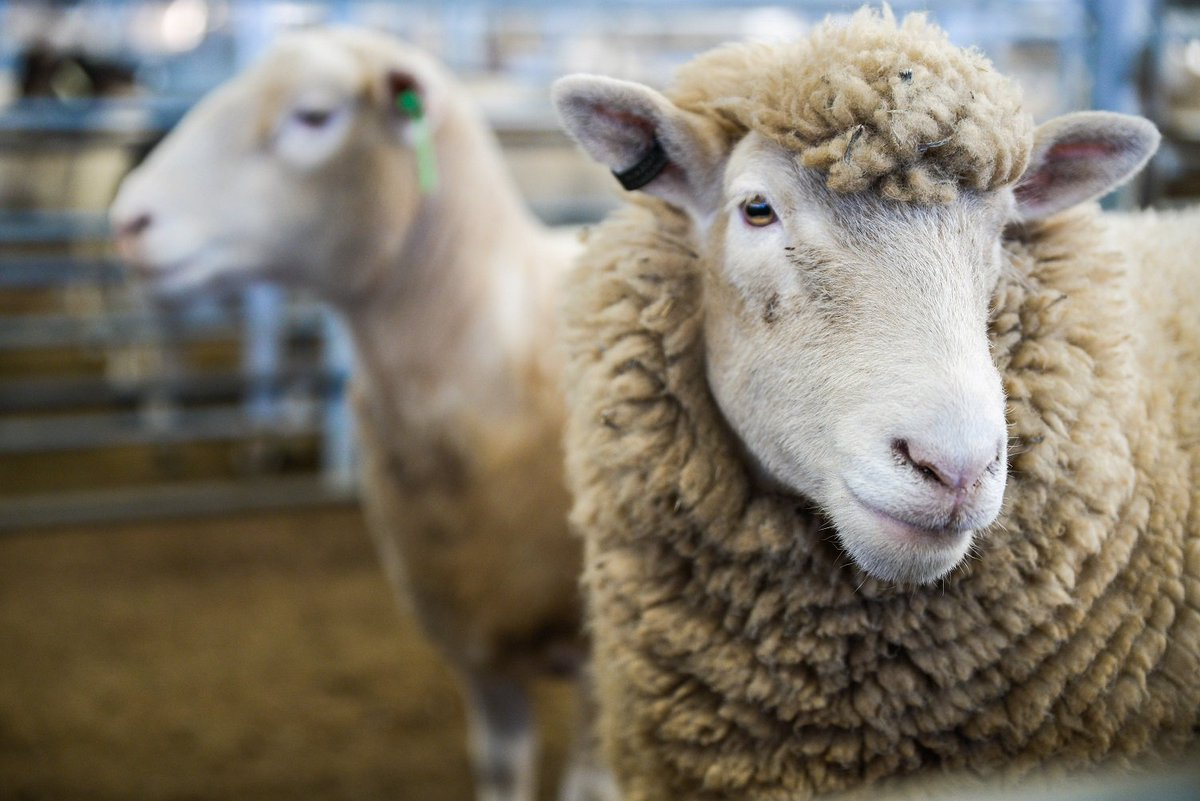 Don't let your livestock 'Suffolk' from disease –...