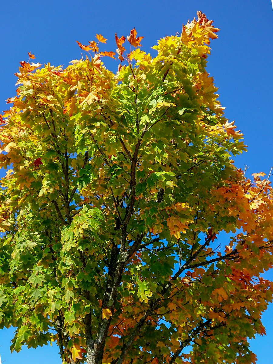 test Twitter Media - Greens, yelows, oranges, reds and a perfectly blue sky form part of nature's wonderful autumn colour palette. #Plymouth #Derriford #Autumn #leafpeeping #WeKnowPlymouth #Photography #Colour https://t.co/91tdQSJUzj