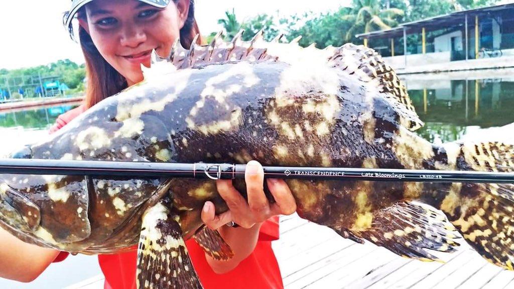 【私たちがトラセンだ!シリーズ】 マレーシア支部の敏腕釣りガールのジェニファーから釣果報告。フィッシュポンドでの良型グルーパーをレイブルロングバージョンで釣獲 https://t.co/t6vmSmeJwg https://t.co/sKY9COkhwG